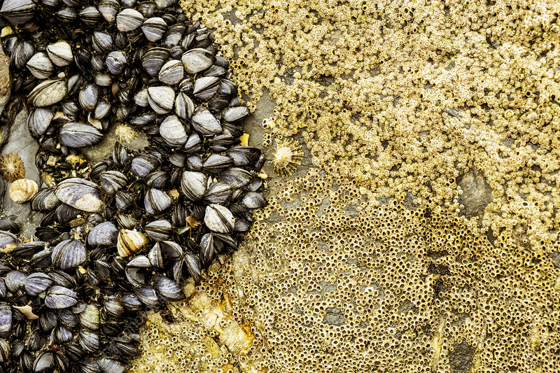 Barnacles and small mussels on the rocks on a beach