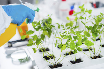 Lab technician spraying plants