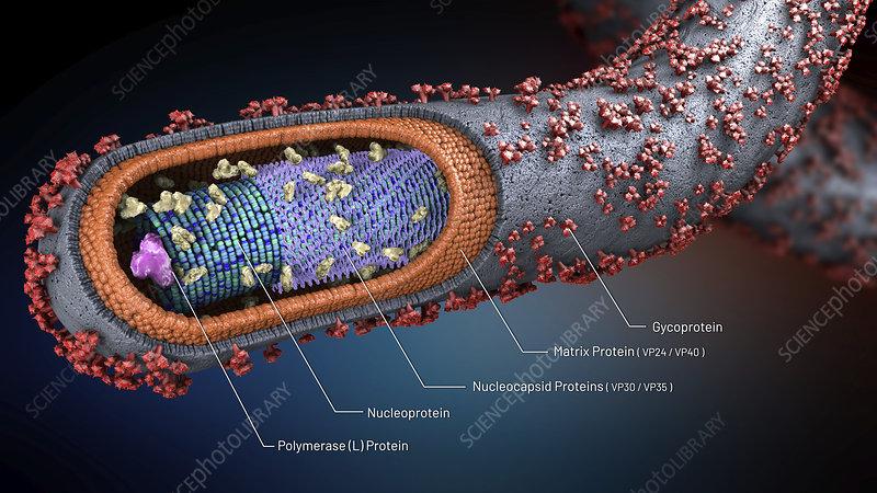 Ebola virus, illustration