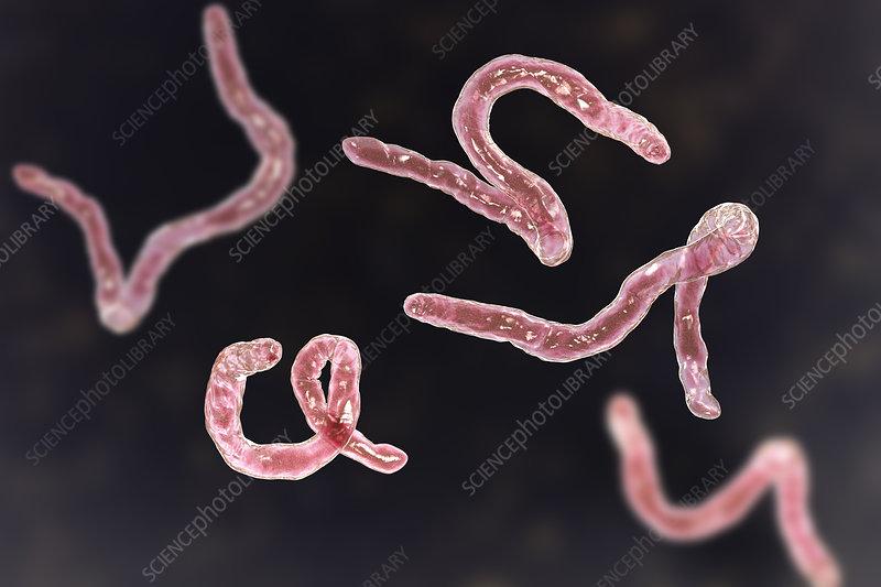 Ancylostoma hookworm, illustration