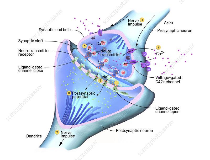 Nerve synapse, illustration