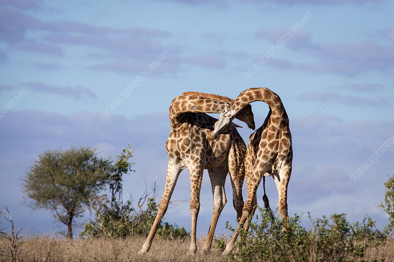 Two giraffes necking each other