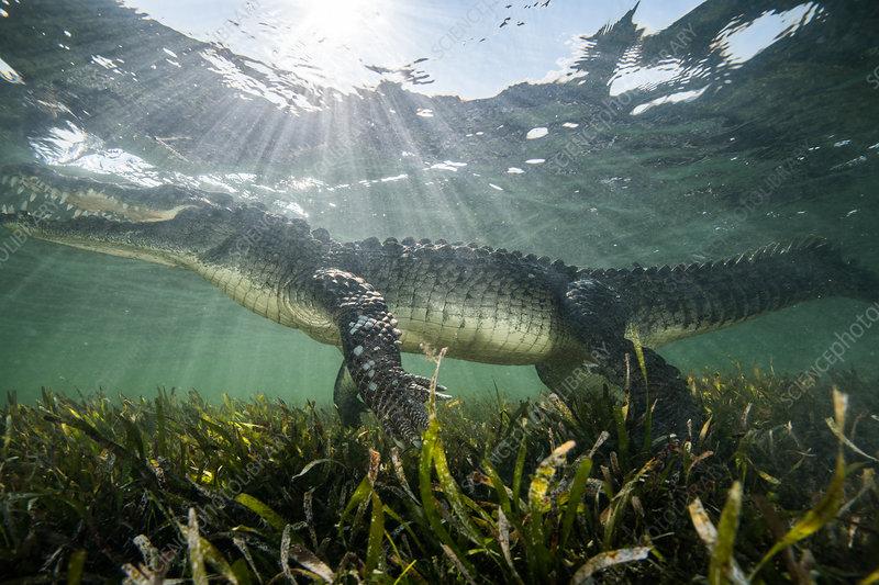 American crocodile (crocodylus acutus), Mexico