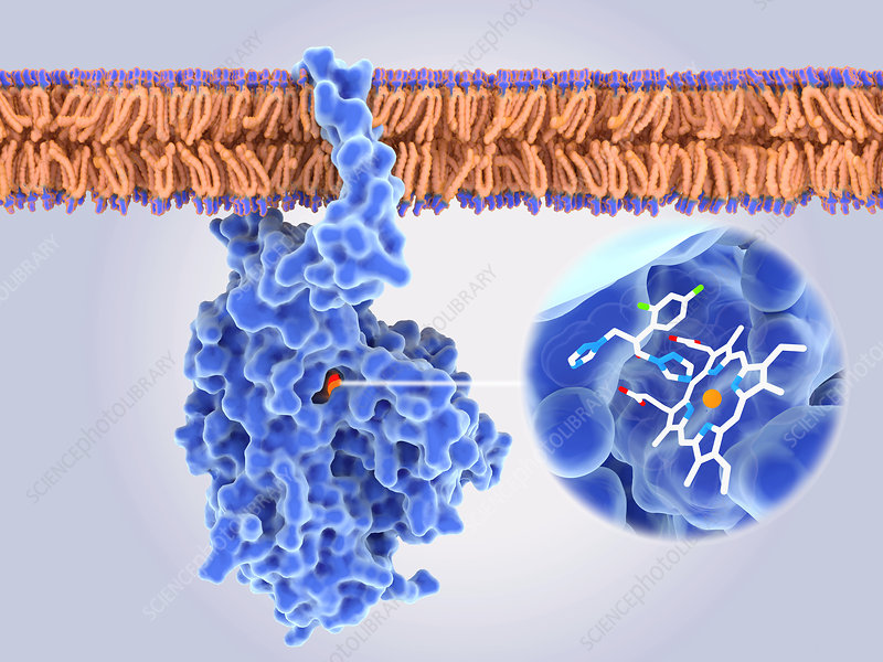 Fungal enzyme blocked by a drug, illustration