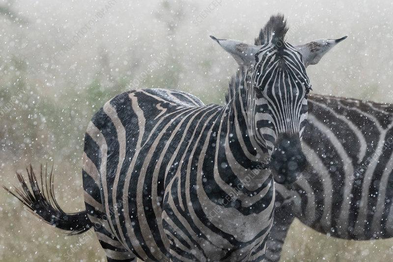 Plains zebras (Equus quagga) under the rain, Tanzania