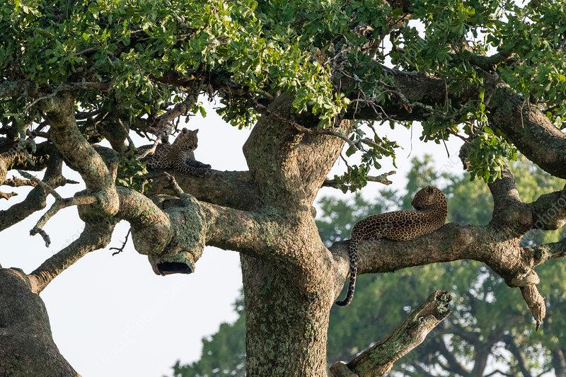 A female leopard (Panthera pardus) and cub, Tanzania