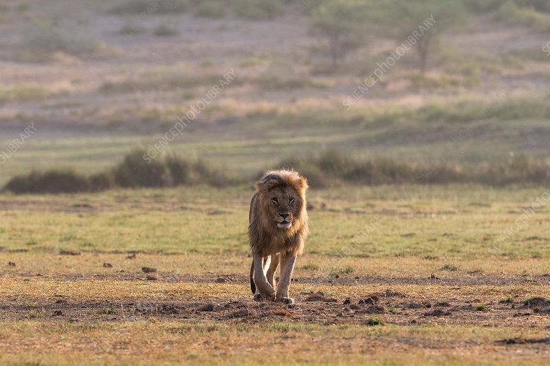 Male lion (Panthera leo), Tanzania