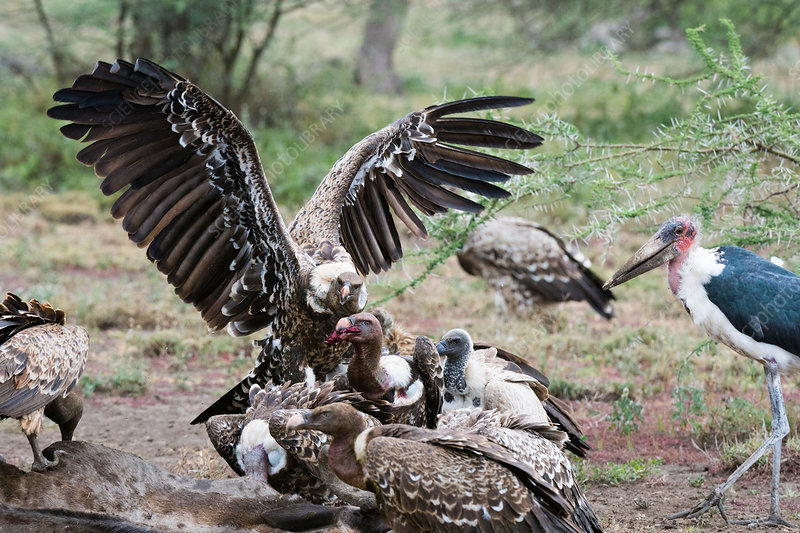 White-backed vultures on a carcass, Tanzania