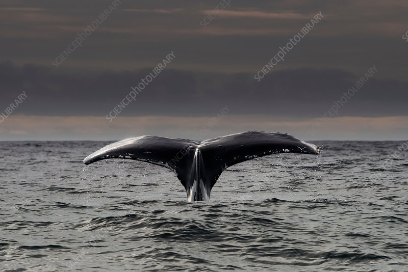 Humpback whale diving, Ireland