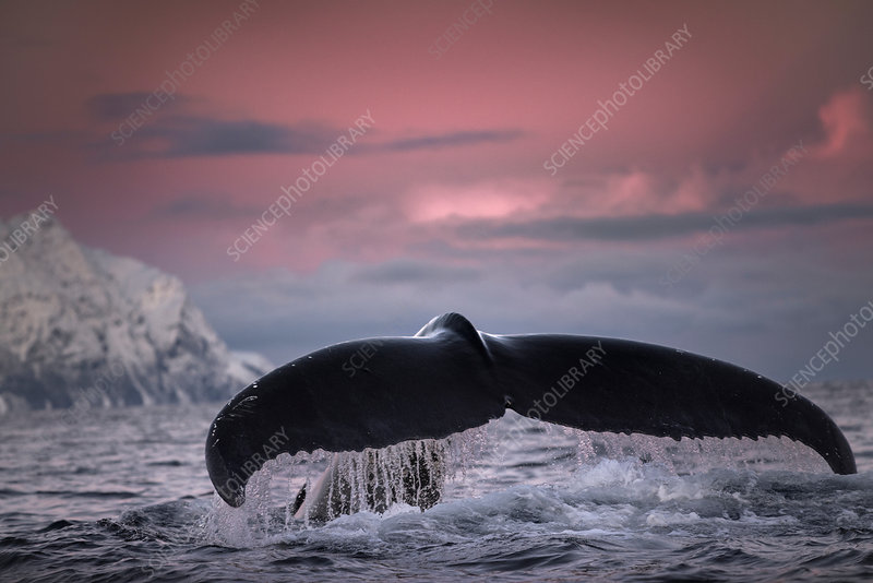 Humpback whale diving, Skjervoy, Troms, Norway