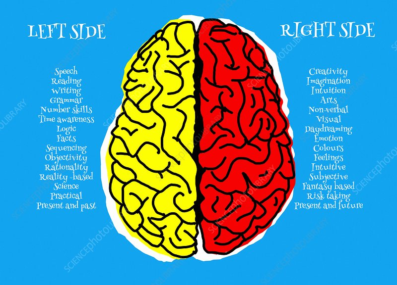 Left and right brain, illustration - Stock Image - F025 ...
