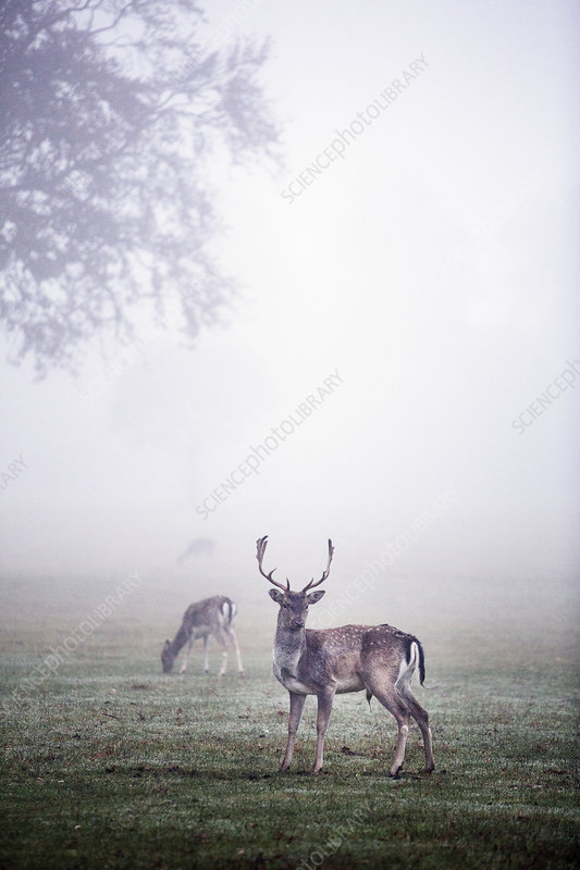Stags in park on a misty morning, tree in background