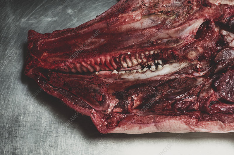 Pig carcass, cross section of animal head