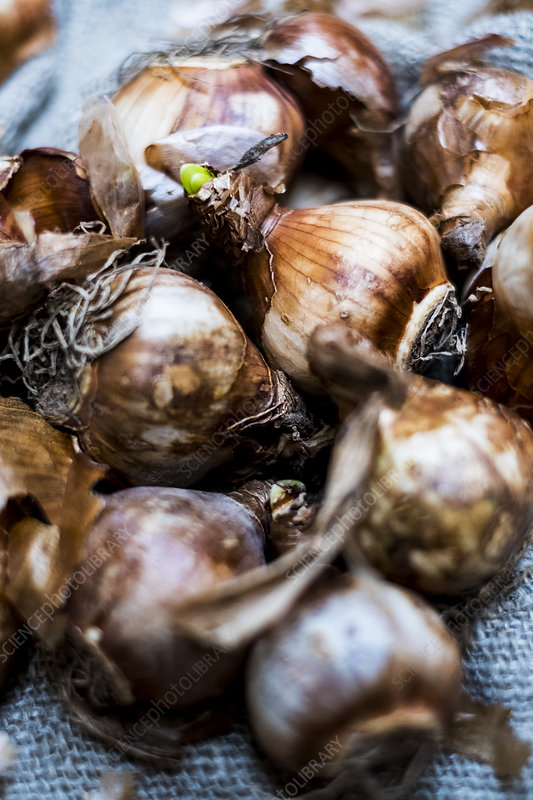 High angle close up, brown onion bulbs on a grey background