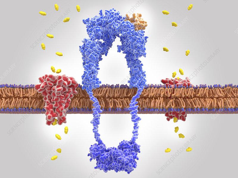 Insulin receptor and glucose transport, illustration