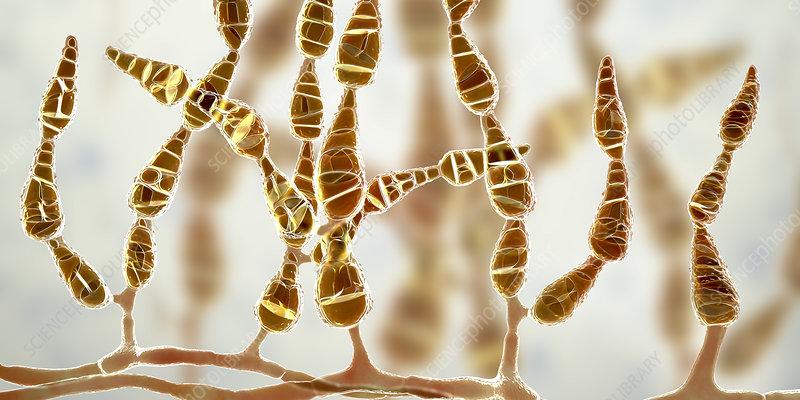Allergenic fungus Alternaria alternata, illustration