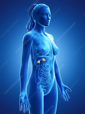 Adrenal glands, illustration