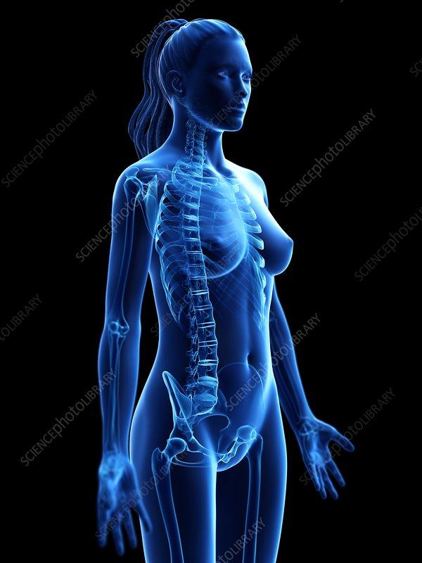 Female skeleton, illustration