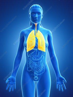 Lung, illustration