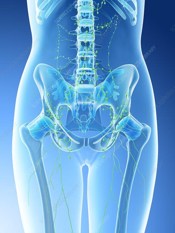 Female abdominal lymph nodes, illustration