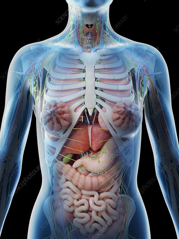 Female upper body anatomy, illustration