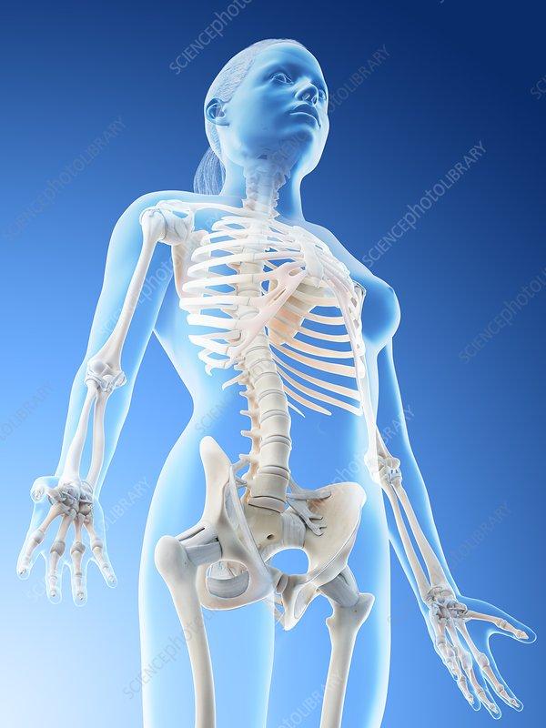 Female upper body bones, illustration