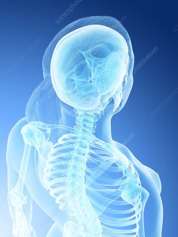 Female back and neck anatomy, illustration