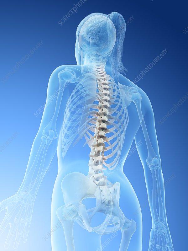 Female spine, illustration