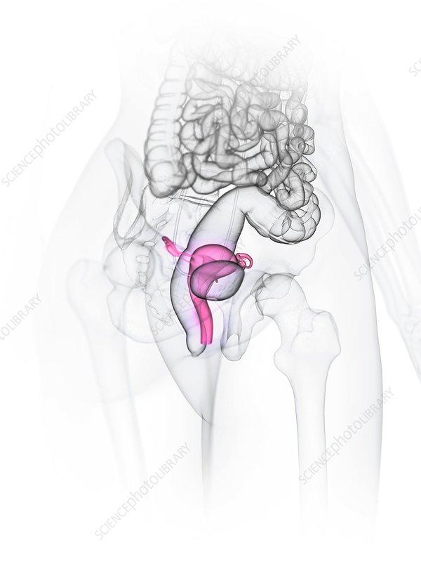 Uterus, illustration