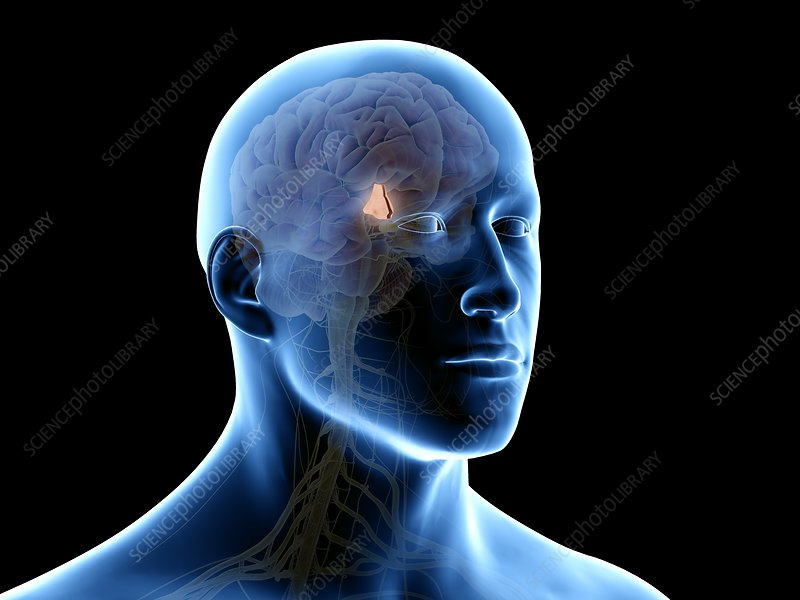 Hypothalamus brain, illustration