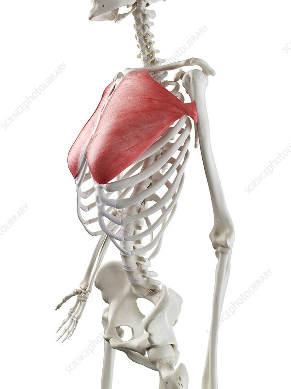 Pectoralis major muscle, illustration