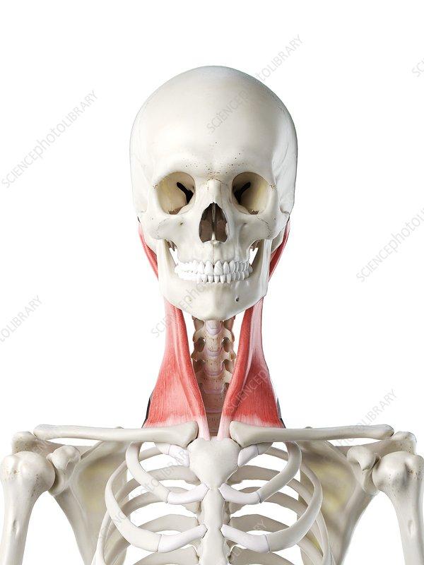 Sternocleidomastoid muscle, illustration
