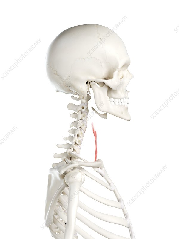 Sternothyroid muscle, illustration
