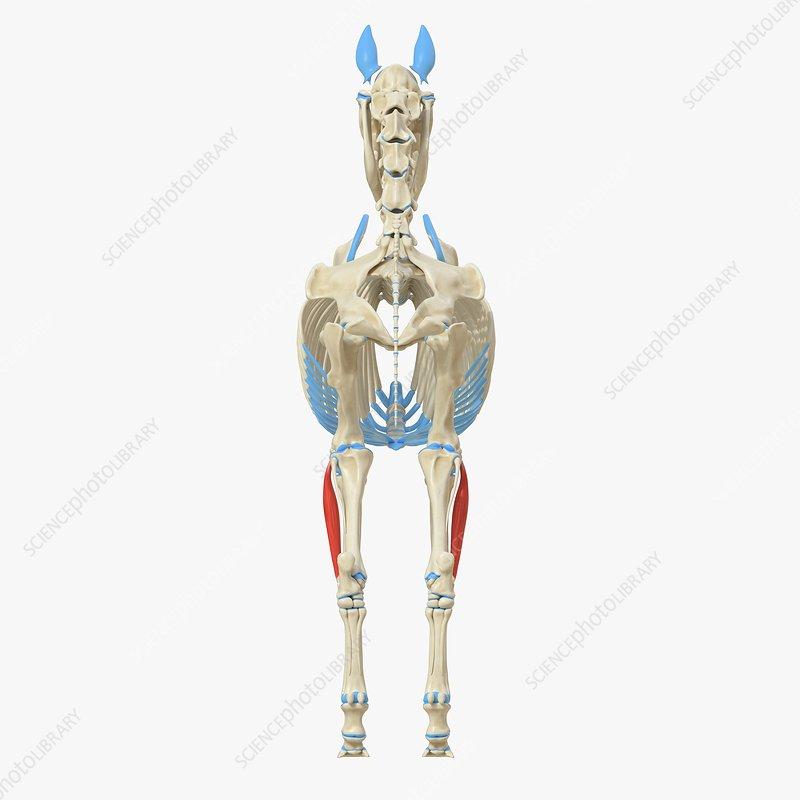 Horse common digital extensor muscle, illustration