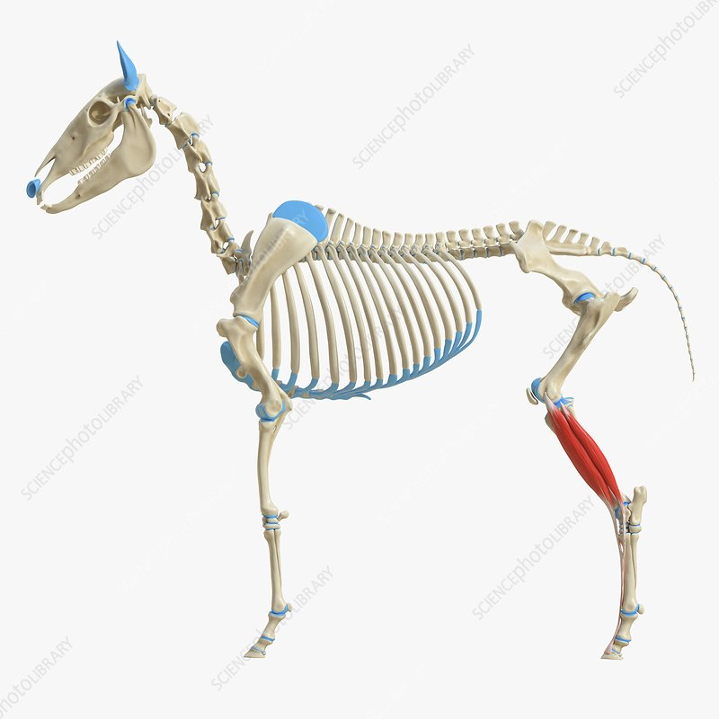 Horse extensor digitorum longus muscle, illustration
