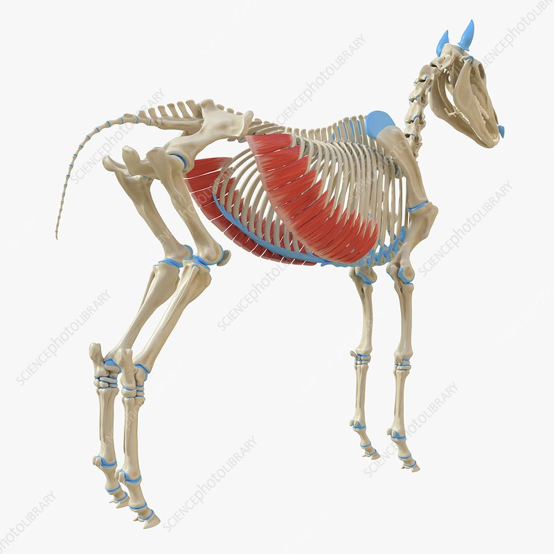 Horse external abdominal oblique muscle, illustration
