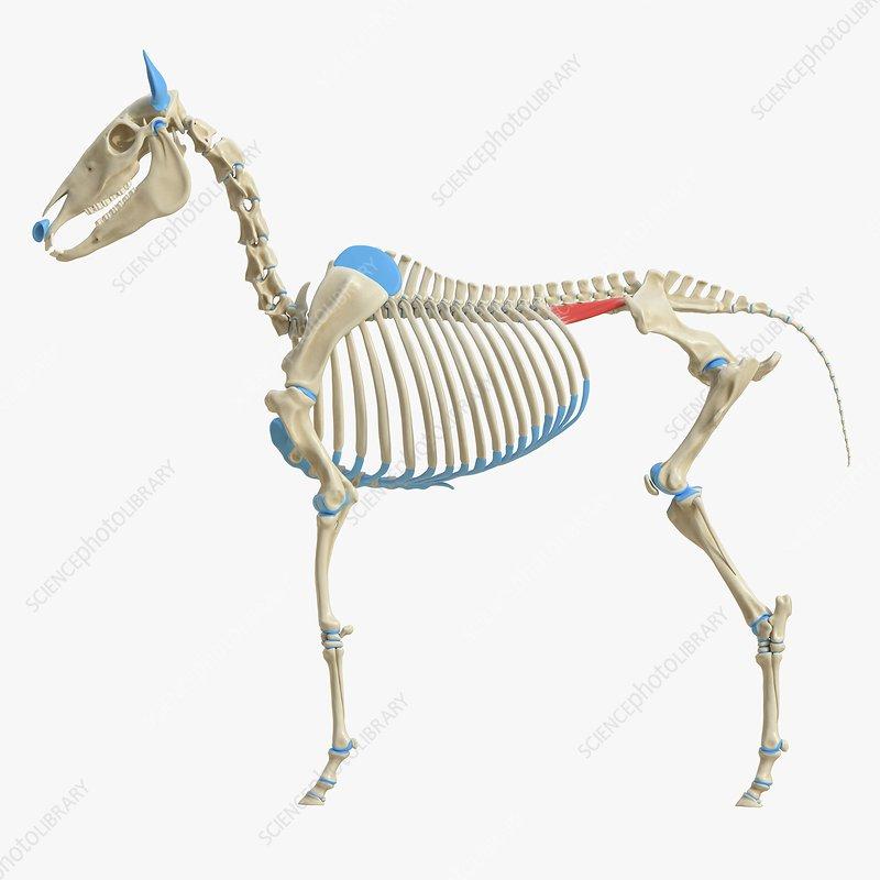 Horse iliocostalis lumborum muscle, illustration