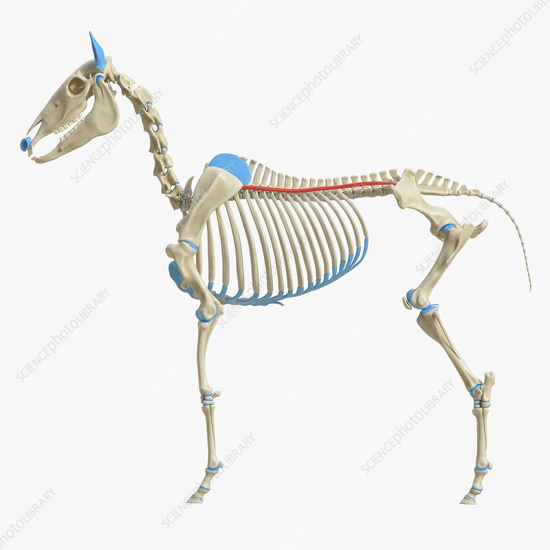 Horse longissimus costarum muscle, illustration