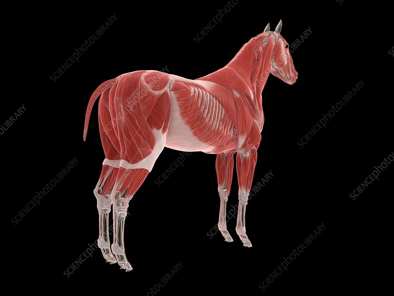 Horse musculature, illustration