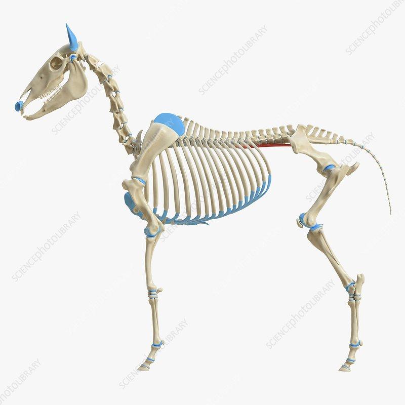 Horse psoas minor muscle, illustration