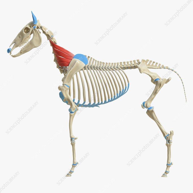 Horse serratus ventralis muscle, illustration