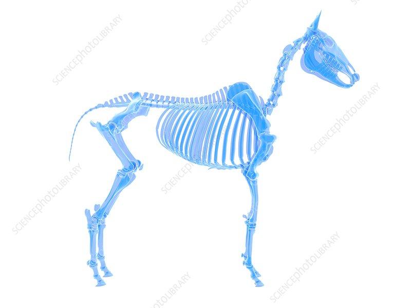 Horse skeleton, illustration