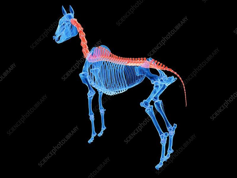 Horse spine, illustration