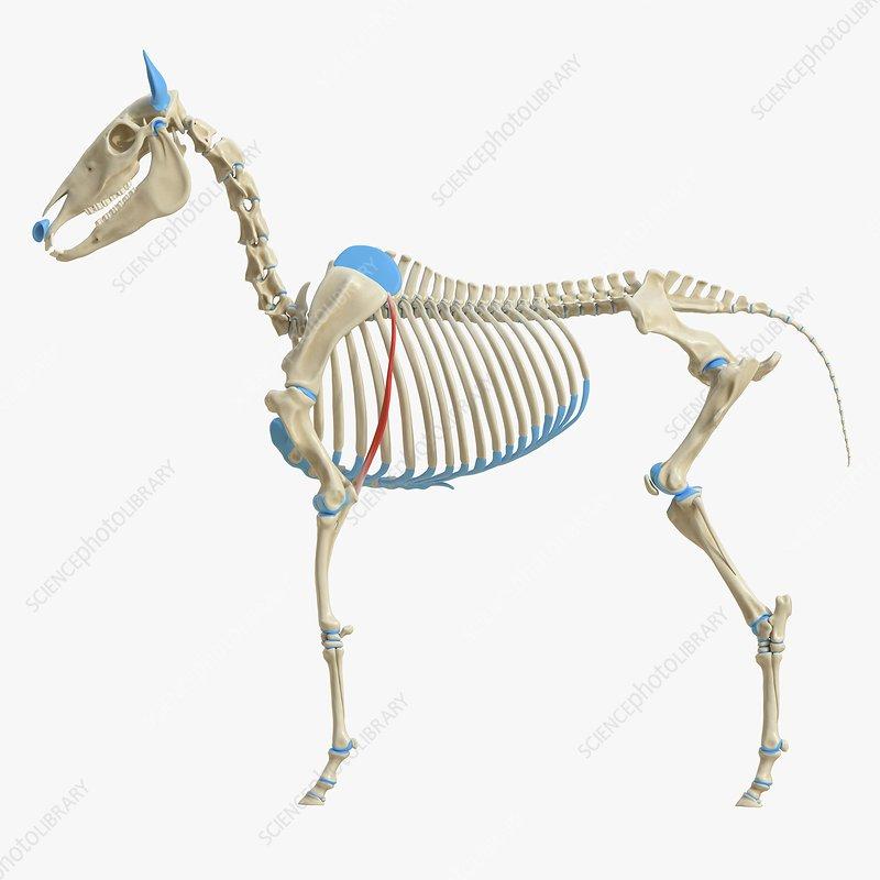 Horse tensor fascia lata muscle, illustration