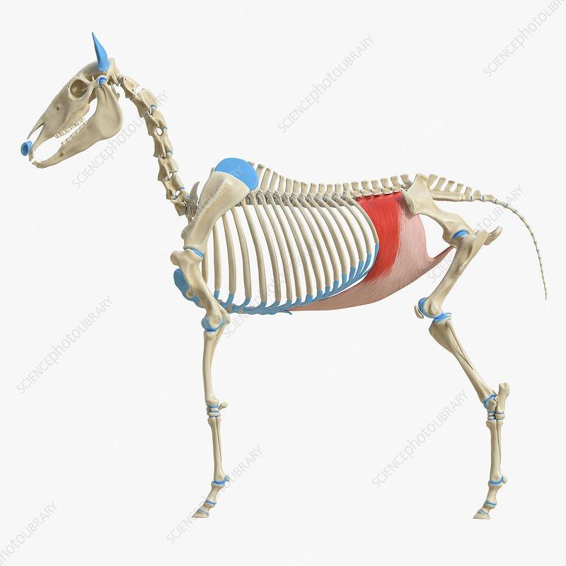 Horse transversus abdominis muscle, illustration