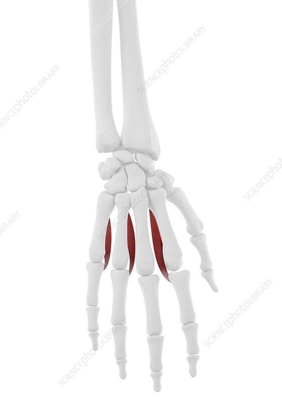 Palmar interosseous muscle, illustration