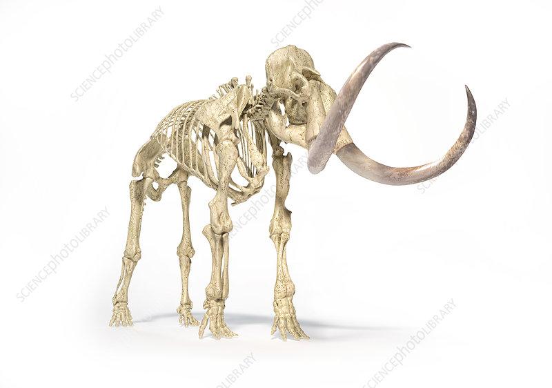 Woolly mammoth skeleton, illustration