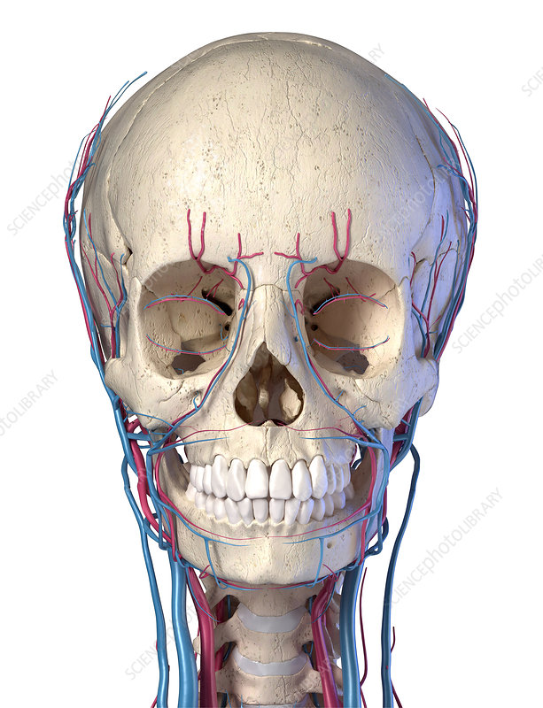 Human skull with veins and arteries, illustration