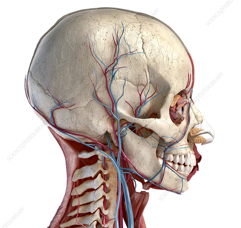 Human head anatomy, illustration