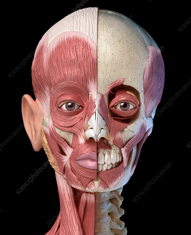 Human head with skull and muscles, illustration